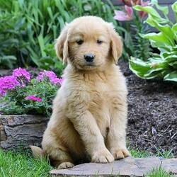 Zander/Male /Male /Golden Retriever Puppy