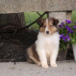 Alvin/Male /Male /Collie Puppy,Say hello to Alvin, a sweet and cuddly Collie puppy looking for a forever home. This puppy is vet checked, current on shots and wormer and has a health guarantee that the breeder is providing. Alvin is family raised with children and well socialized. To find out more about Alvin please contact the breeder.