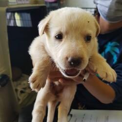 Adopt a dog:Bella/Affenpinscher/Female/Young,