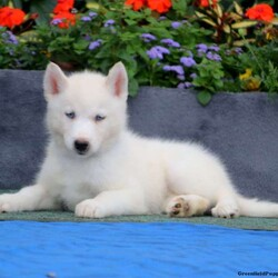 Abby/Female /Female /Siberian Husky Puppy