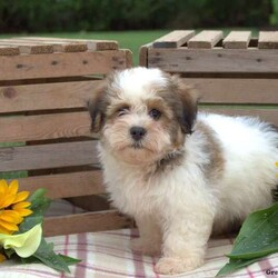 Micah/Male /Male /Havanese Puppy,Meet Micah, a bubbly Havanese puppy who is ready to be your new best friend. This lively pup is vet checked, up to date on vaccinations & dewormer plus the breeder provides a 1 year genetic health guarantee for Micah. To learn more about this friendly fella, call the breeder today!