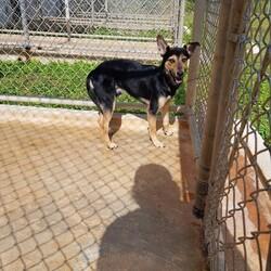 Adopt a dog:Bagel/Affenpinscher/Male/Young,