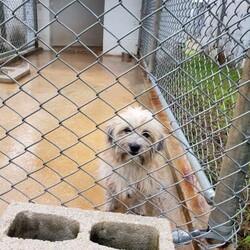 Adopt a dog:Vicente/Shih Tzu/Male/Adult,