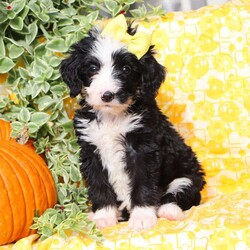Brooke/Female /Female /Bernedoodle Puppy,Meet Brooke, a cute and lovable Bernedoodle puppy ready to win your heart! This charming pup is vet checked, up to date on shots and wormer, plus comes with a 1 year genetic health guarantee provided by the breeder. Brooke is family raised with children and would make the sweetest addition to anyone's family. To find out more about this kissable pup, please contact Nate & Abigail today!