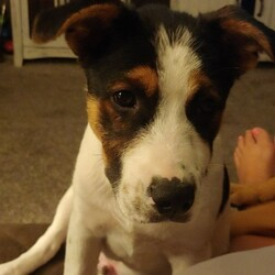 Adopt a dog:Peedee Fryman/Mixed Breed/Male/Baby,This pup is in a foster home. If you would like to meet this pup you can email foster at dolly3318@gmail.com. You will also need to fill out an adoption application. Please go to souldog.com to fill an adoption application out. Filling out an adoption application does not mean you will be adopting the animal. Meeting a pup does not mean you are approved to adopt the puppy. We will select the family we feel is the best choice for that pup after meeting the applicants.