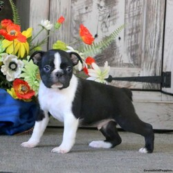 Max/Male /Male /Boston Terrier Puppy,Meet Max, a socialized Boston Terrier puppy who is being family raised with children. This fun fella is vet checked, up to date on shots & wormer plus the breeder provides a 6 month genetic health guarantee for Max. And, he can be registered with the ACA. To learn more about this playful pooch, call the breeder today!