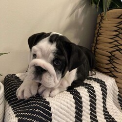 Molly/Female /Female /English Bulldog Puppy,Meet Molly, a chunky and cute English Bulldog puppy! This wrinkly pup is vet checked and up to date on shots and wormer. Molly can be registered with the AKC and comes with a health guarantee provided by the breeder. This gorgeous pup is family raised with children and would make the best addition to anyone's family. To find out more about Molly, please contact Chris today!