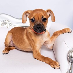 Adopt a dog:me/Pug/Female/Baby,Meet Twyla! Are you ready to fall in love? Little Twyla is a 10lb, 16 week old Chug (Chihuahua Pug mix) with an adorable pout, giant doe-like eyes, and ears that are definitely too big for her little head! This little firecracker has so much personality in a tiny, little pug shaped package!  Twyla is currently in Houston, Texas and will be transporting to a foster home in the greater Seattle area on 10/2. Twyla will be available for meet & greets to approved applicants. To apply for adoption: www.doggedly.org/application-app  The Chug Sisters have a very sad story. Originally one of 3, Twyla was surrendered in poor health after her owner was diagnosed with COIVD. For such a tiny little pup, Twyla's future wasn't looking so bright and she desperately needed help to thrive. The puppies had a severe parasite overload and sadly, one of the sister's passed away unexpectedly, leaving her two sweet sisters behind.  Although these pups had a rough start, Twyla is simply amazing. She is the funniest, squishiest, wiggliest little curly tailed baby we've ever met! Twyla is the most outspoken out of the sisters, and loves to play and boss her sister around. She is also super snuggly and loves to curl up for love whenever possible. Twyla loves to take the lead when playing with her sister and doesn't have any shortage of little zoomies! Her gentle, sweet, loving personality is exactly what you need after a long day, despite her small size you will receive lots of love!  These pups thrive in the presence of other dogs, and would do best in a home with another medium to small sized, confident dog who can show them the ropes when it comes to learning how to dog! The Chug Sisters have also been introduced to cats and have done exceptionally well! In terms of training, these girls are learning to potty train, but will need continued training through positive reinforcement. They are both kennel trained and doing well with basic commands. Utilizing treats