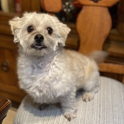 Adopt a dog:Harry Potter/Poodle/Male/Young,Adopt Harry Potter! NM, between 6 y, Terripoo blend, 10 lbs, shots, chipped and crate-trained at night. Apply: KenMarRescue.org  ***  Adopt me! I look like a real live teddy bear. Cute and cuddly.    I'm handsome, perky, smart, and did I mention cute?  My preference is to be my human's humble shadow and help out in the garden or as co-pilot on car rides.  They think that I'm a Terripoo blend. Is that kind of like a coffee blend at the local cafe or a cuvée (blend) of wine?  I am a happy, healthy little boy, and am up to date with all of my vaccines (are you?).  I eat a grain free, salmon based diet and sleep in my crate sanctuary at night just fine.  I am looking for a match that will go with me on walks and adventures. Someone that will be cozy when it's cold out and ready to play when the sun is shining.  Though I am small, I love to run around in a secured yard.  If you have spot in your heart and home for a single, eligible bachelor like me and if you are not afraid of a lifetime commitment, please apply online to adopt me at: KenMarRescue.org  You'll be glad you did!  Xo, Harry Potter  PS - I prefer an adults-only home.