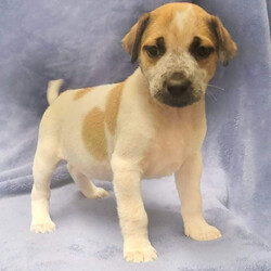 Adopt a dog:CABO/Hound/Male/Baby,CABO: 8 weeks, 6lbs, Hound Mix, Neutered male, Estimated to Be About 50lbs Full Grown   Please Note: We can not guarantee breed mix nor full grown size. Both are educated guesses.  Home Recommendation: A high active household that is ready to take on the joys (and lots of hard work) of raising a puppy. They are working breed puppies so they are wicked smart and will need lots of stimulation and exercise as they grow into young adults. This breed mix requires an owner with some working breed primary dog ownership. Sorry to disappoint but if your dog experience stops at